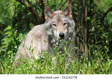 big wolf in forest