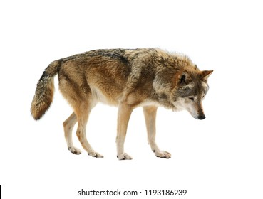 Big wolf isolated on white background