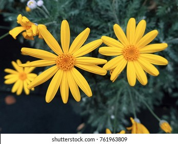 Big and yellow arnica flowers.