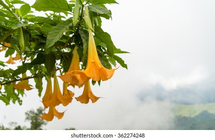 Big yellow Brugmansia called Angels Trumpets or Datura flowers sag from twig. Plant with beautiful huge hanging flowers is popular in ornamental gardens, all parts of Brugmansia are deathly poisonous.