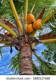Big yellow coconuts on the palm tree