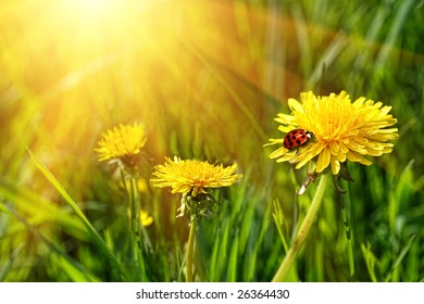 Big yellow dandelions with ladybug in the tall grass