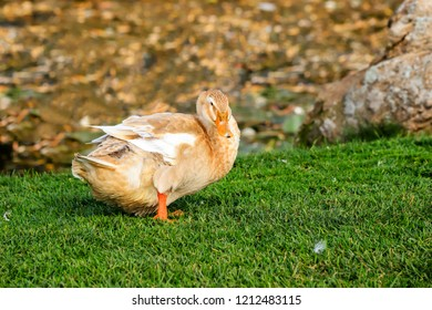 A big yellow duck,  stands on a green lawn. Poultry on a farm in the village. Waterfowl birds,