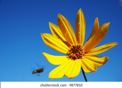 big yellow flower with blue sky on the background. There is a bee flying in direction of the flower. Motion of the bee is visible.