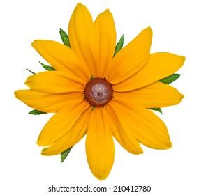 Big yellow flower Rudbeckia closeup isolated on white