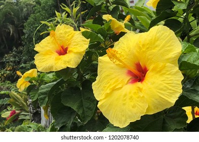 Big yellow hibiscus flowers
