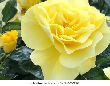 Big yellow rose and little bud in garden