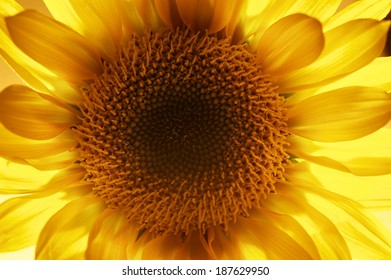 A big yellow sunflower backlit to highlight the vibrant yellow of this beautiful flower. The depth of field is tight with the main focus on the center of the flower.