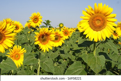 big yellow sunflower on background sky