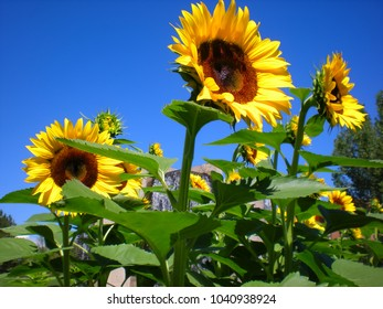 Big yellow sunflowers against bright blue sky.