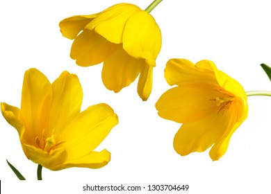 big yellow tulip and white loose background