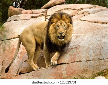 BIG YOUNG MALE LION 3