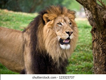 BIG YOUNG MALE LION 5