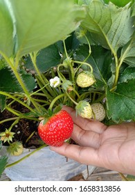 A big & young strawberry