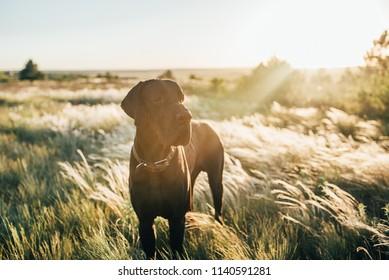 bigdog  greatdane sun