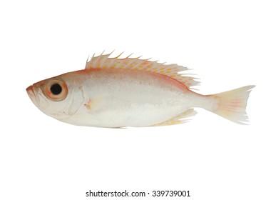 Bigeye fish isolated on white background