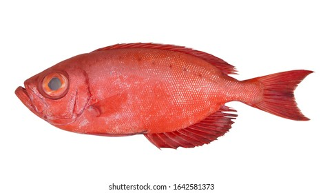 Bigeye fish or red sea perch isolated on white, Priacanthus macracanthus
