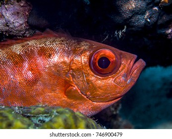 bigeye soldierfish,Ostichthys trachypoma is a soldierfish species belonging to the Holocentridae family.