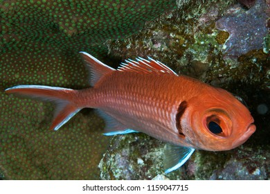 Big-eye squirefish, Caribbean Ocean. Bonaire, Dutch Antilillies.