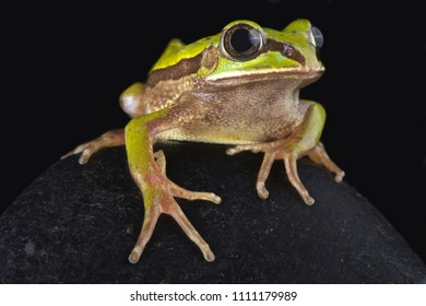 The Big-eyed frog (Leptopelis nordequatorialis)is found on savannas in northern Cameroon.