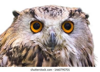 Big-eyed owl on a white background