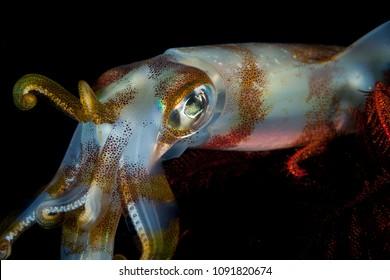 Bigfin reef squid, Sepioteuthis lessoniana