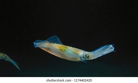 Bigfin reef squid (Sepioteuthis lessoniana). It is a cephalopod, related to octopus and cuttlefish.