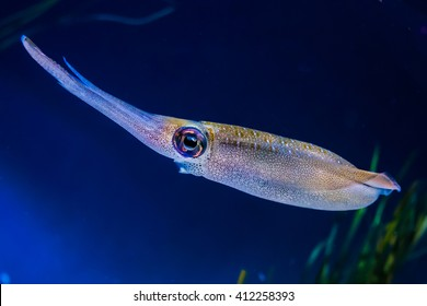 Bigfin reef squid (Sepioteuthis lessoniana) live in the deep seas of Indian Ocean and between Australia, New Zealand and Asia. A cephalopod, related to octopus an cuttlefish.
