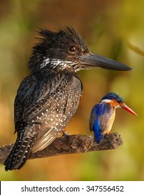 The biggest african kingfisher with one of the smallest african kingfisher on the branch together for comparison (Giant and malachite k.). Chobe river, Botswana. Edited picture.