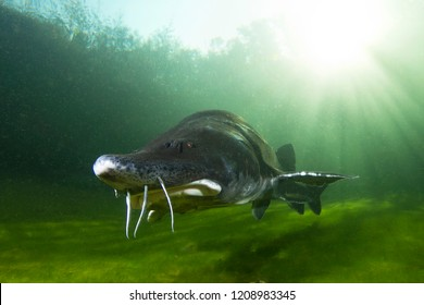 The biggest fish Beluga, Huso huso swimming in the river. Underwater photography. Freshwater fish sturgeon swimming in the nature. Fish in tank. Nice background. Live in the sea. Great Sturgeon.