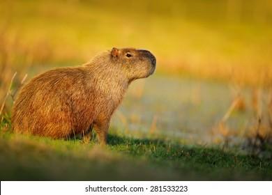The biggest mouse called Capybara, Hydrochoerus hydrochaeris, with evening light during sunset, Pantanal, Brazil.