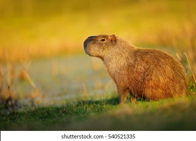 The biggest mouse Capybara, Hydrochoerus hydrochaeris, with evening light during sunset, Pantanal, Brazil. Widlife from South America.