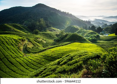 The biggest tea plantation Cameron highlands, Malaysia