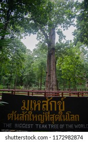 The biggest teak tree in the world.