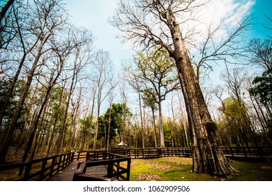 The Biggest Teak Tree Of The World located within the National Park in Thailand.
