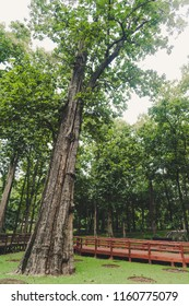 The biggest teak in the world in Pitsanulok, Thailand