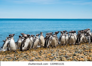 The biggestcolony of Magellanic penguins on the shore of the Atlantic Ocean in breeding season. Summer in the Argentine Patagonia 3