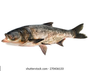 Bighead carp isolated on white background