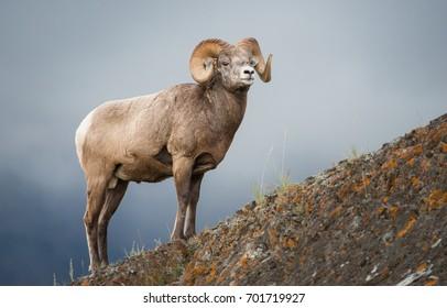 Bighorn ram in Jasper