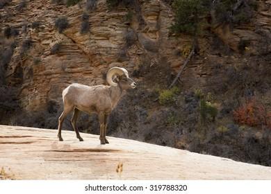 bighorn ram standing on mesa