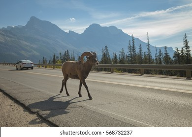 A bighorn ram walks down the Icefields Parkway in Jasper National Park, Alberta.