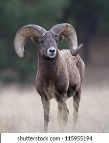 Bighorn Ram, wild mountain sheep, Rocky Mountains, Montana, USA; big game hunting trophy horns