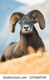 Bighorn rams in the mountains