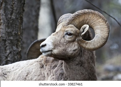 Bighorn Sheep in Banff National Park, Alberta, Canada