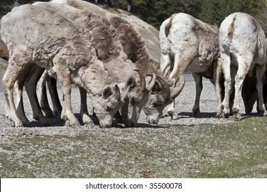 Bighorn Sheep in Banff National Park, Alberta, Canada