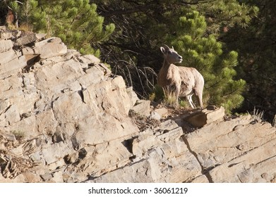 Bighorn Sheep in the Black Hills of South Dakota.