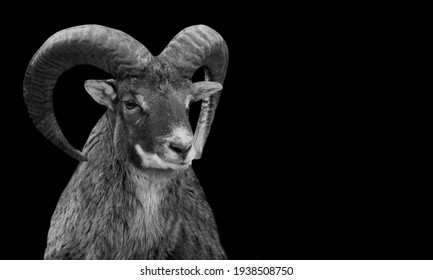 Bighorn Sheep Black And White Face In The Black Background