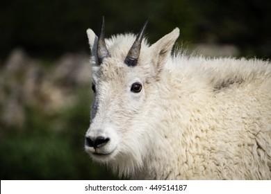 Bighorn Sheep Breckenridge, CO