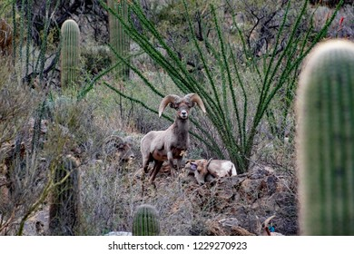 Bighorn sheep in the Catalina Mountains north of Tucson along the Pima Canyon Trail. A ram stands guard over an ewe in the Sonoran Desert surrounded by saguaro cactus, ocotillo bushes and rocks. 2018.
