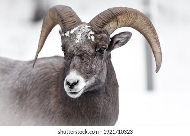 Bighorn Sheep Close-up in Jackson Wyoming